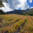 Stock Photo: Mauritius. Plantations of pineapples in hilly terrain