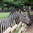 Zebra — Stock Photo #32540797