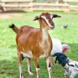 Toggenburg hornless goat — Stock Photo