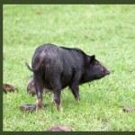 Wild pig — Stock Photo #32540879