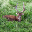 Adult red deer — Stock Photo