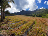 Mauritius. Plantations of pineapples in a hilly terrain — Stock Photo