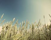 Field of wheat ,with a retro effect — Stock Photo