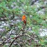 Mauritius, Madagascar Fody (Foudia madagascariensis) — Stok fotoğraf