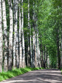The road among birches — Stock Photo