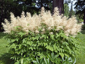 Decorative blossoming bush — Stock Photo