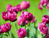 Bed with tulips, small depth of sharpnes — Stock Photo