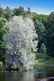 Willow silvery over the lake (Salix alba — Stock Photo