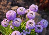 Blossoming decorative onions (Allium ), small depth of sharpnes — Stock Photo