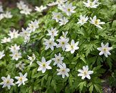 первые весенние цветы - подснежники — Стоковое фото