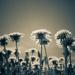 Dandelions in the meadow ,with a retro effect — Stock Photo