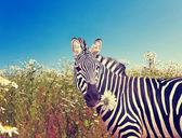 Zebra with a camomile ,with a retro effect — Stock Photo