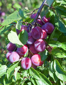 Branches of a plum tree with ripe fruits — Photo
