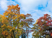 Autumn tree with bright foliage on a blue sky background — Stock Photo