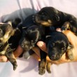 Newborn domestic puppies — Stock Photo