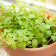 Oregano spice plant — Stock Photo #34657459
