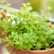 Oregano spice plant — Stock Photo #34657549