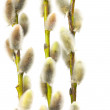 Stock Photo: Willow flowers