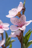 Brzoskwiniowy kwiat — Zdjęcie stockowe
