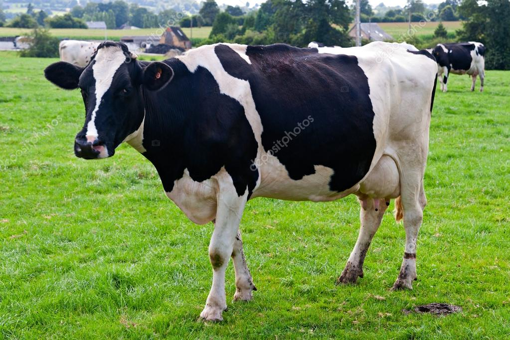 Cow on Meadow — Stock Photo #12545280