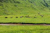 Cows in Echo's Valley, Huesca, Spanish Pyrenees — Stock Photo