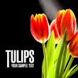 Red tulips no the black background — Stock Photo