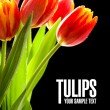 Stock Photo: Red tulips on the black background