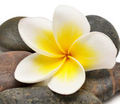 Flower and stones — Stock Photo