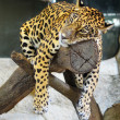 Upset jaguar — Photo
