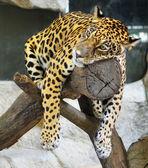 Upset jaguar — Stock Photo