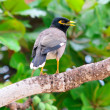 Common myna - Foto Stock