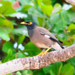Stock Photo: Common myna