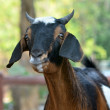 Goat — Stock Photo #22391975