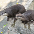 Otters - Stock Photo