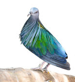 Blue pigeon — Stock Photo