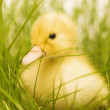 Royalty-Free Stock Photo: Cute duckling