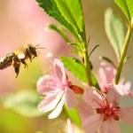 Flying bee — Stock Photo