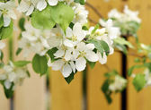 Apple blossoms — Stockfoto