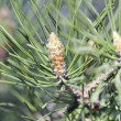 A conifer tree — 图库照片