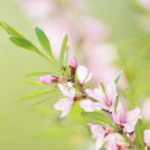 Pink flowers of cherry — Stock Photo #26831251