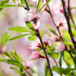 Pink flowers of cherry — Stock Photo #26831265