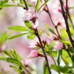 Pink flowers of cherry — Stock Photo #26831265