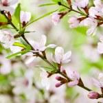 Sakura — Stock Photo #26831755