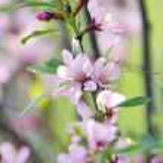 Sakura — Stock Photo #26831865