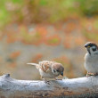 Sparrows — Stock Photo