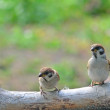 Sparrows — Stock Photo #28147051