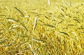 Pšeničné pole — Stock fotografie