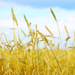 Wheat field — Stock Photo #31446539