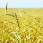 Wheat field — Stock Photo #31454955