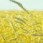 Wheat field — Stock Photo #31463807
